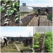 """Pravieniškių pataisos namuose-atvirojoje kolonijoje daugiau nei 100 nuteistųjų (esančių Antrajame sektoriuje) dalyvauja projekte """"Žalioji oazė"""""""