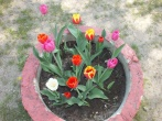 Gėlės senjoroms