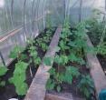 Daržovės savam stalui